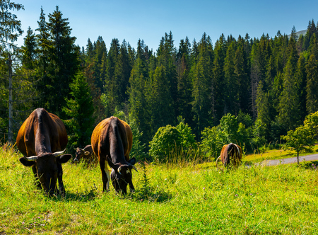 Fat cows grazing on a meadow among the spruce forest. lovely rural scenery of Carpathian mountains Stock Photo
