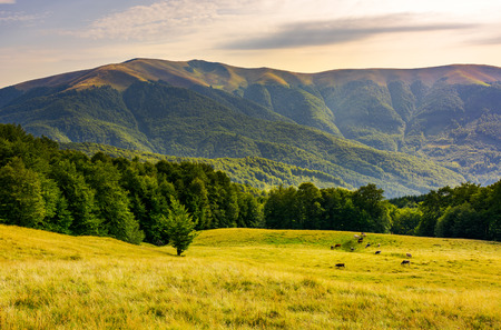 cattle of cow grazing at the foot of Apetska mountain. wide grassy meadow on hillside surrounded with beech forest. beautiful Carpathian summer landscape in afternoon