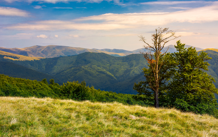 beech trees on a meadow of Svydovets ridge. beautiful scenery of Carpathian mountains in august Stock Photo