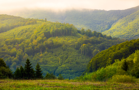 forested hills in morning mist. lovely mountainous landscape of Carpathians under low clouds