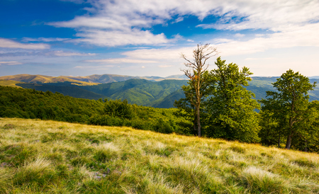 beech trees on a meadow of Svydovets ridge. beautiful landscape of Carpathian mountains in late summer