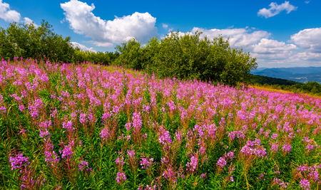 fire weed meadow in mountains. beautiful purple flowers on hillside. wonderful summer weather with blue sky and some fluffy clouds Stock Photo