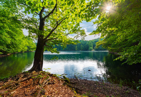 Vecchio faggio sulla riva del lago Morske Oko in sunburst. bellissimo paesaggio Vihorlat della Slovacchia in estate. faggeta primordiale.