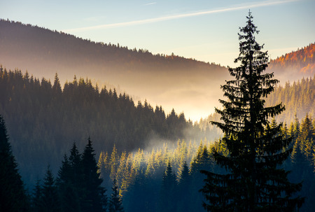 spruce forest in fog at sunrise. beautiful autumn scenery of Apuseni Mountains of Romania Stock Photo