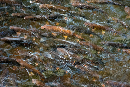 lots of trout in clear water of wild lake. lovely nature background close-up. Stock Photo