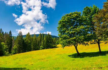 trees on the grassy meadow in summer. beautiful landscape with spruce forest and mountain in the distance. blue sky with fluffy cloud formation