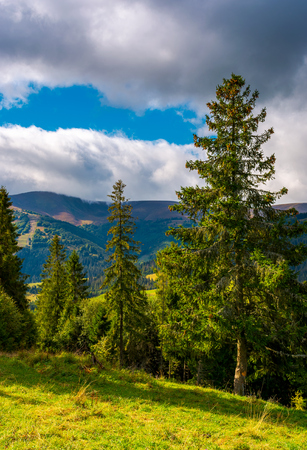 Huge spruce trees of Carpathian forests. beautiful scenery on a cloudy day. mountain Hymba of Borzhava ridge in the far distance Stock Photo
