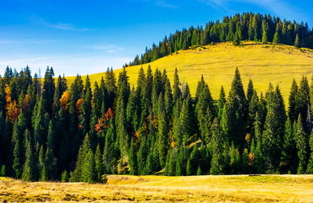 spruce forest around the hill in autumn. beautiful nature scenery. clean environment concept. azure sky with few clouds