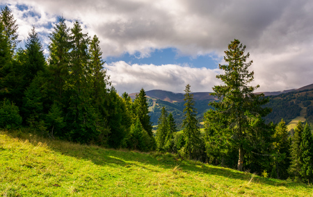 spruce forest on the grassy hillside. lovely mountainous landscape with gorgeous sky Stock Photo