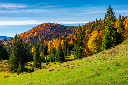 beautiful autumnal landscape of Apuseni mountains. colorful foliage on trees. tall spruce trees on the grassy hillside. mountain ridge far in the distance under the blue sky Stock Photo