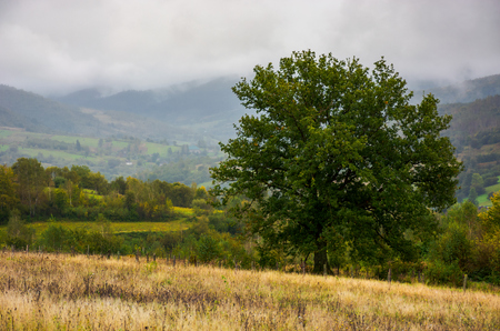 lonely oak on hillside clearing. lovely autumnal foggy weather in mountains Stockfoto