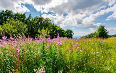 Meadow with fire weed near the beech forest. beautiful summer scenery on a warm and cloudy day. lovely purple flowers in bright sunlight