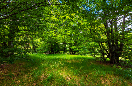 deep ancient beech forest glade. beautiful summer scenery Stock Photo