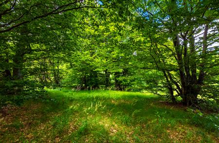 tiefe alte Buchenwaldlichtung. schöne Sommerlandschaft