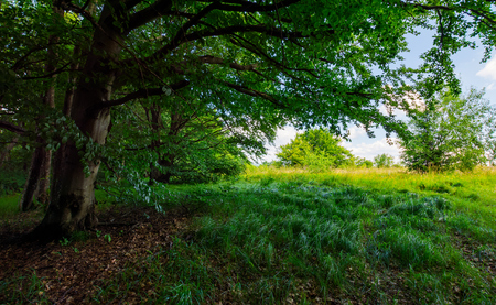 ancient beech forest meadow in summer. beautiful scenery in shade of old trees Stock Photo