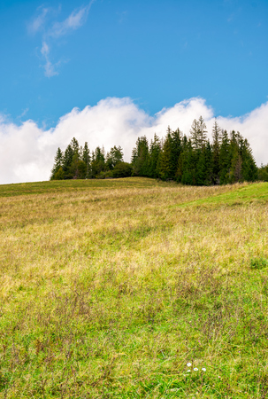 spruce woodlot on top of a hill. hillside with weathered grass in early autumn. massive cloud behind the scene. lovely nature background Stock Photo