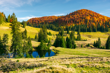 pond on a grassy meadow among spruce trees. beautiful autumn landscape with distant mountain in red foliage. bright and warm weather in october