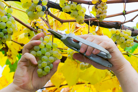 man hands cut the grapes. autumn harvesting scene. natural crop gathering concept