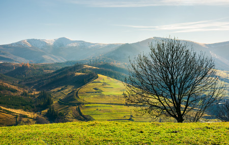 naked tree on the grassy hill. mountain ridge with snowy tops in the distance. fine autumn weather Stock Photo