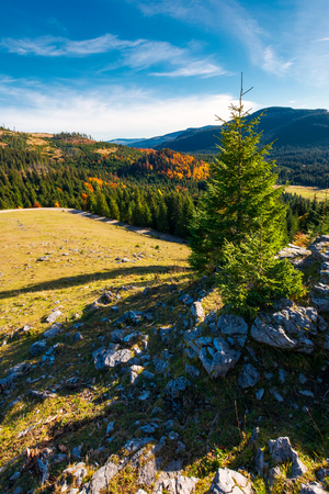 spruce tree on a cliff. beautiful sunrise in mountains. lovely autumn weather