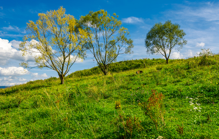 trees in a row on a hillside meadow. beautiful sky behind the scenery