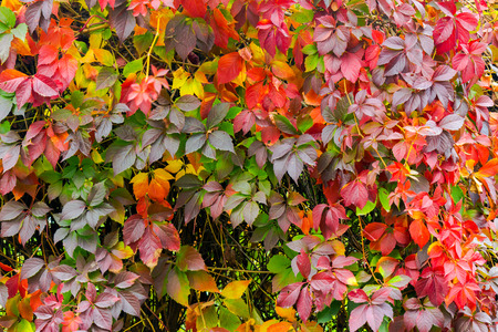 colorful texture of ivy plant on the wall. red and green leaves background Stock Photo