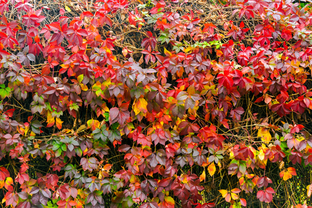 colorful texture of ivy plant on the wall. wonderful autumn background Stock Photo