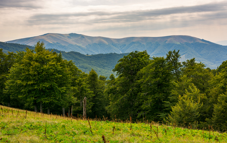 beech forest on the alpine meadow. forested hills and distant mountain in haze. overcast summer weather in afternoon