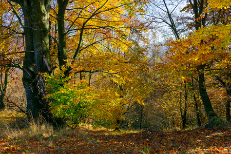 golden foliage in the forest. beautiful autumn scenery in a bright light. pleasant nature background Stock Photo