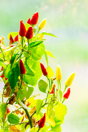 red and yellow chili peppers grow. small plant on blurry background
