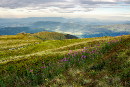 row of purple flowers on the hill. lovely scenery in mountains at sunrise. fire-weed among the grass in overcast weather