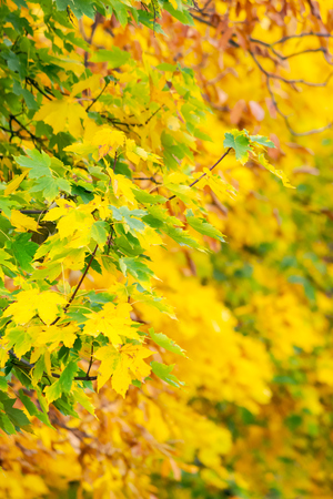 chestnut foliage in autumn. lovely natural background vertical Stock Photo