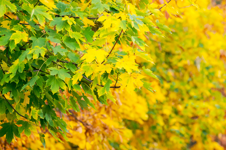 chestnut foliage in autumn. lovely natural background Reklamní fotografie - 108411589