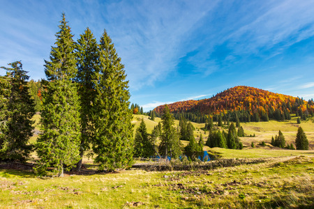 spruce trees in the valley in autumn. beautiful landscape in mountains. gorgeous light and mood, wonderful day spent outdoors in nature