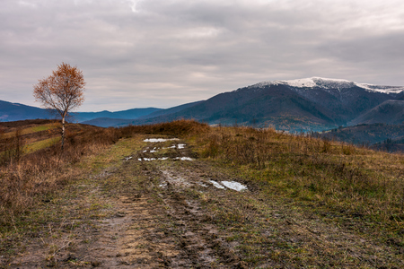 birch tree in red foliage along the dirt road through the hill. overcast sky above the distant mountain ridge with snowy tops