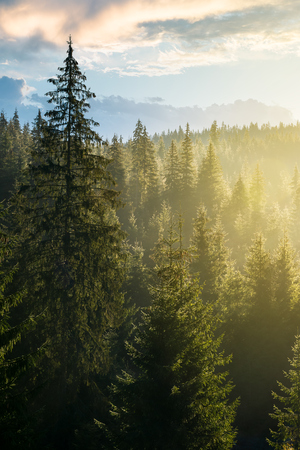 spruce forest on the hill in morning light. lovely nature scenery in haze Stock Photo