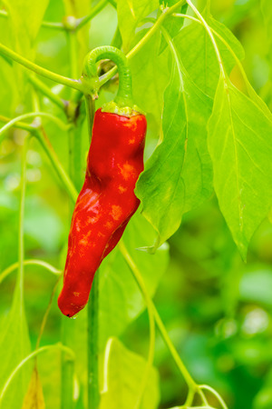 chili pepper grow close up. ripe vegetable Stock Photo