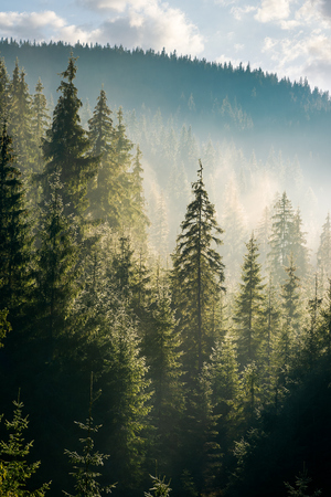 spruce forest on the hill in morning haze. lovely nature scenery in beautiful light Stock Photo