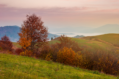 late autumn dawn with pink sky in mountains. red foliaged trees on the grassy hill. rising fog in the distant valley.