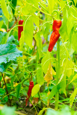 chili peppers grow in the garden. natural food farming Stock Photo