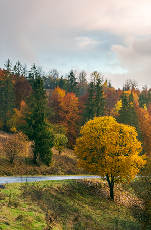 tree with golden foliage by the road in mountains. wonderful fall season scenery. Stock Photo - 109273694
