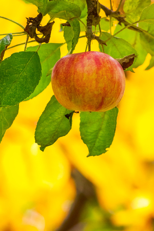 late season apple varieties. sweet ripe fruit on the branch. yellow background of blurred foliage in the orchard