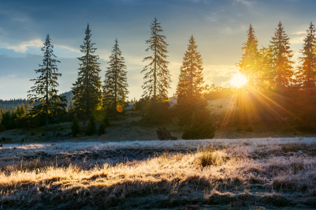 sun light through tall spruce trees on the hill. back lit meadow with frozen grass. gorgeous autumn sunrise in mountains