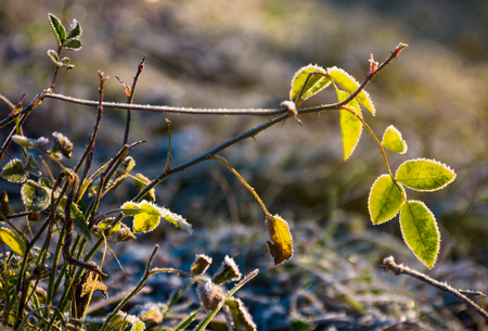 plant in hoar frost in morning light. lovely nature background in late autumn