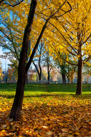 trees of city park in golden foliage. warm november weather