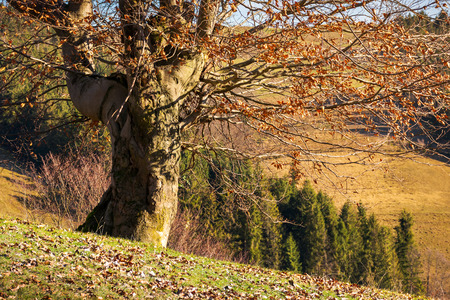 leafless beech tree on hill. brown foliage on the ground. sad autumn scenery on a sunny day. Stock Photo