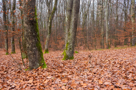 trees with moss on trunks in empty forest. lonely atmosphere of late November