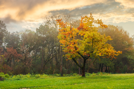 oak tree in yellow foliage on the grassy meadow. autumn nature scenery in the city park