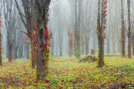 colorful ivy plant on trees in foggy park. mysterious weather in november