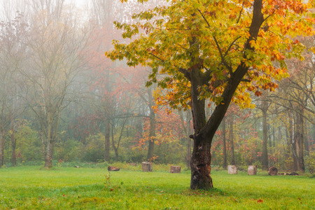 oak tree in yellow foliage on the grassy meadow. lovely autumn nature scenery in the foggy city park